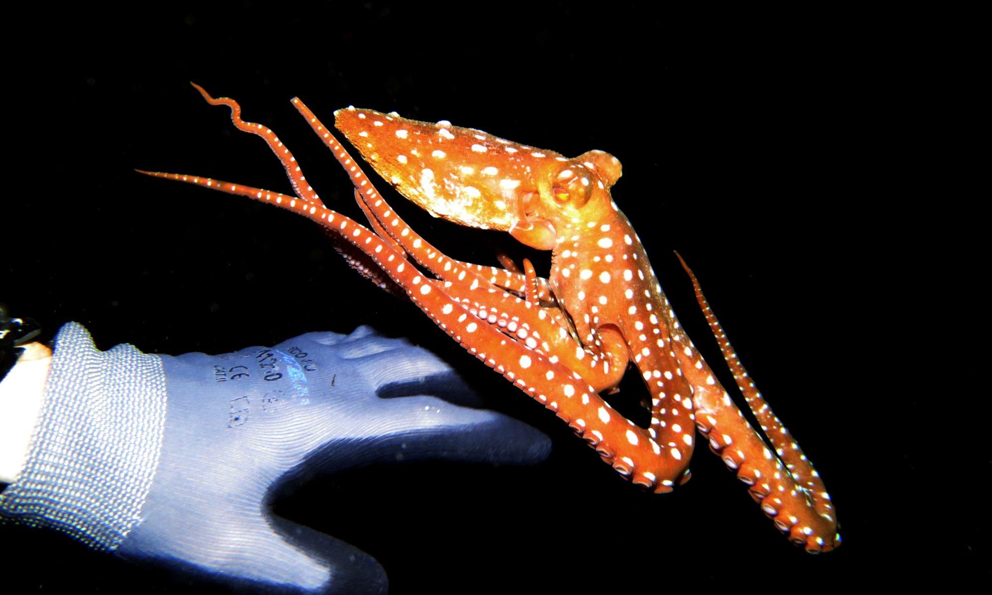 Octopus beim Nachttauchgang